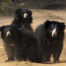 sloth bears