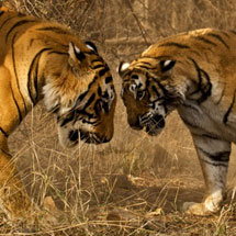 tiger confronation